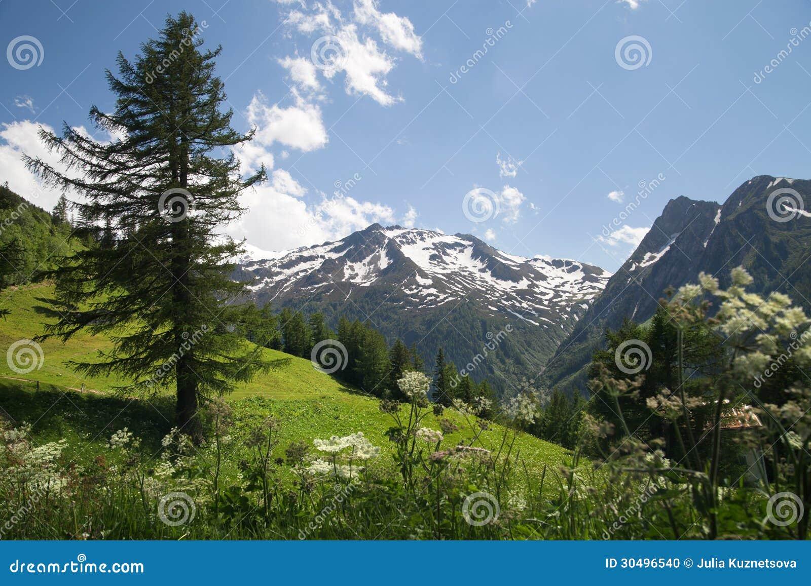 l rche baum auf steigung in den alpen stockfoto bild 30496540. Black Bedroom Furniture Sets. Home Design Ideas