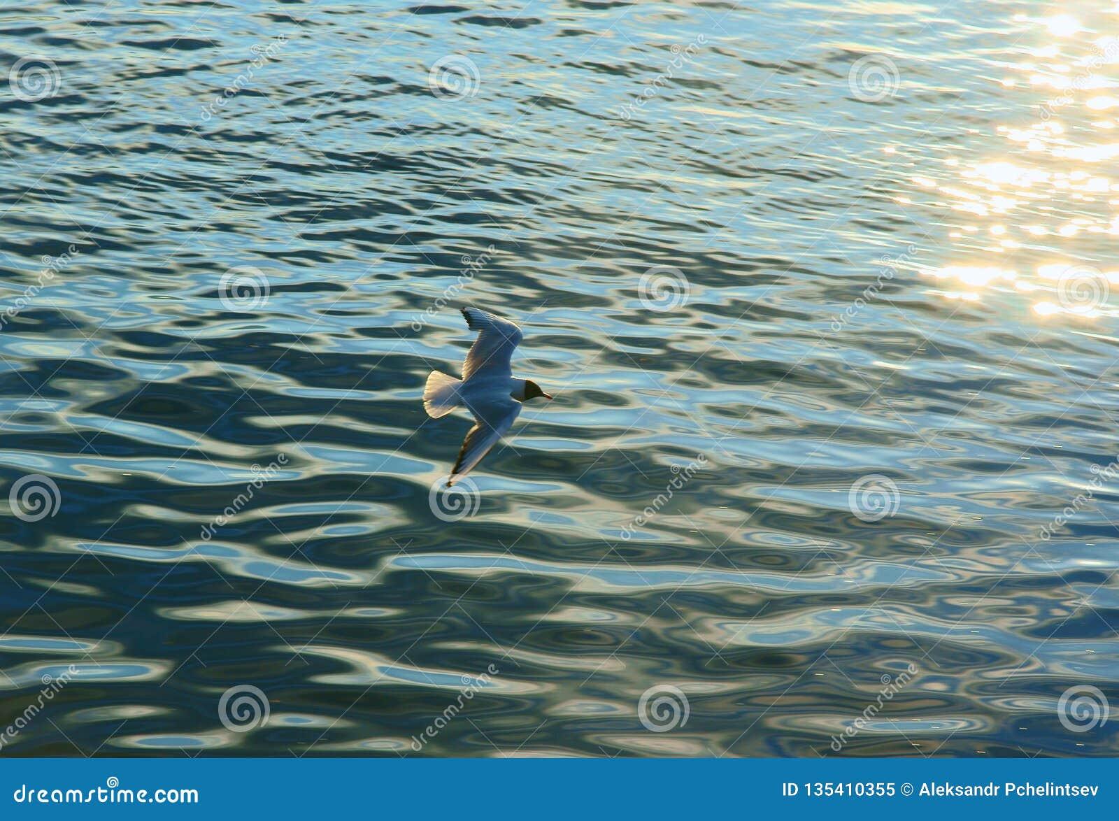Låg-flyg seagull