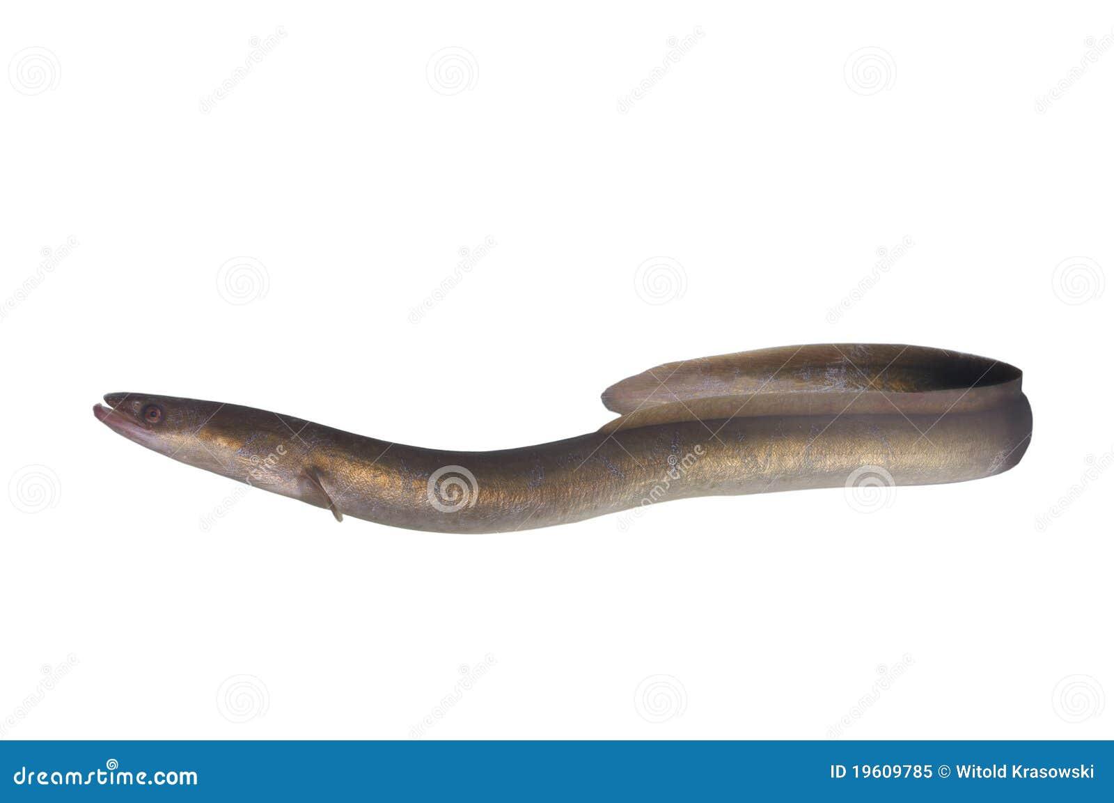 Lång ål