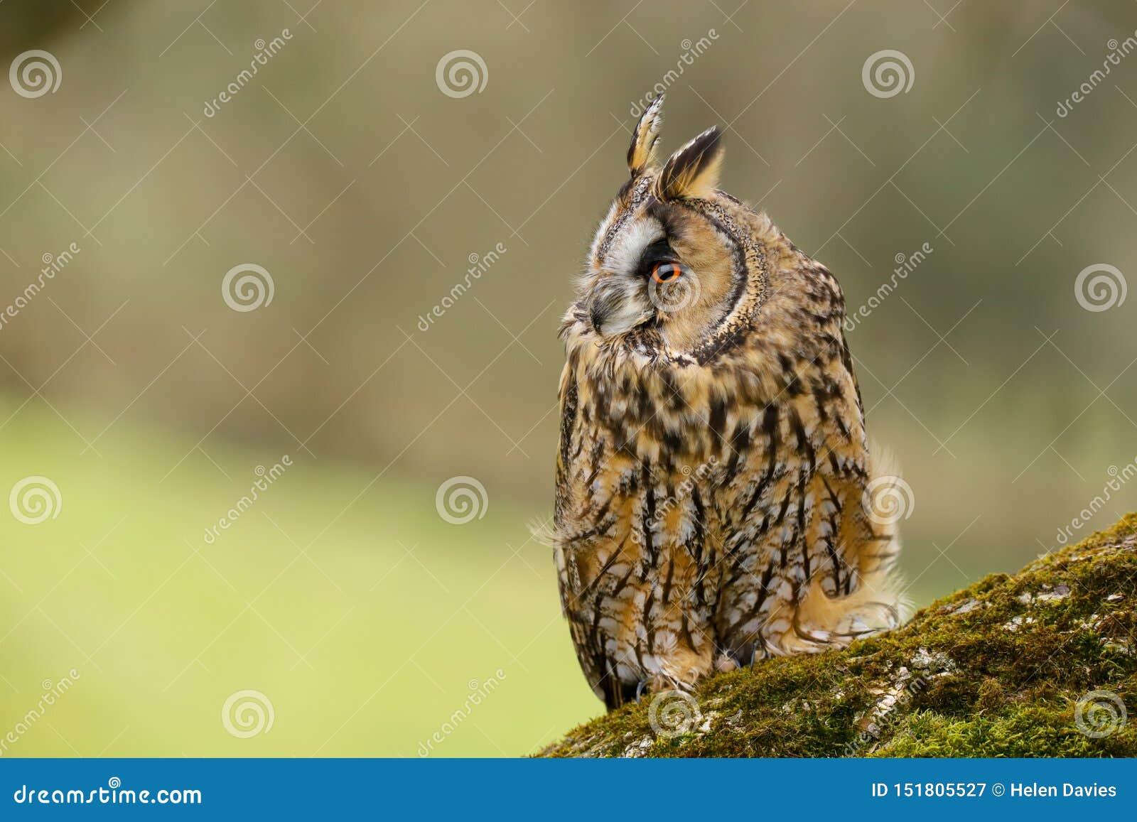 Lång gå i ax Owl Asio otus UK