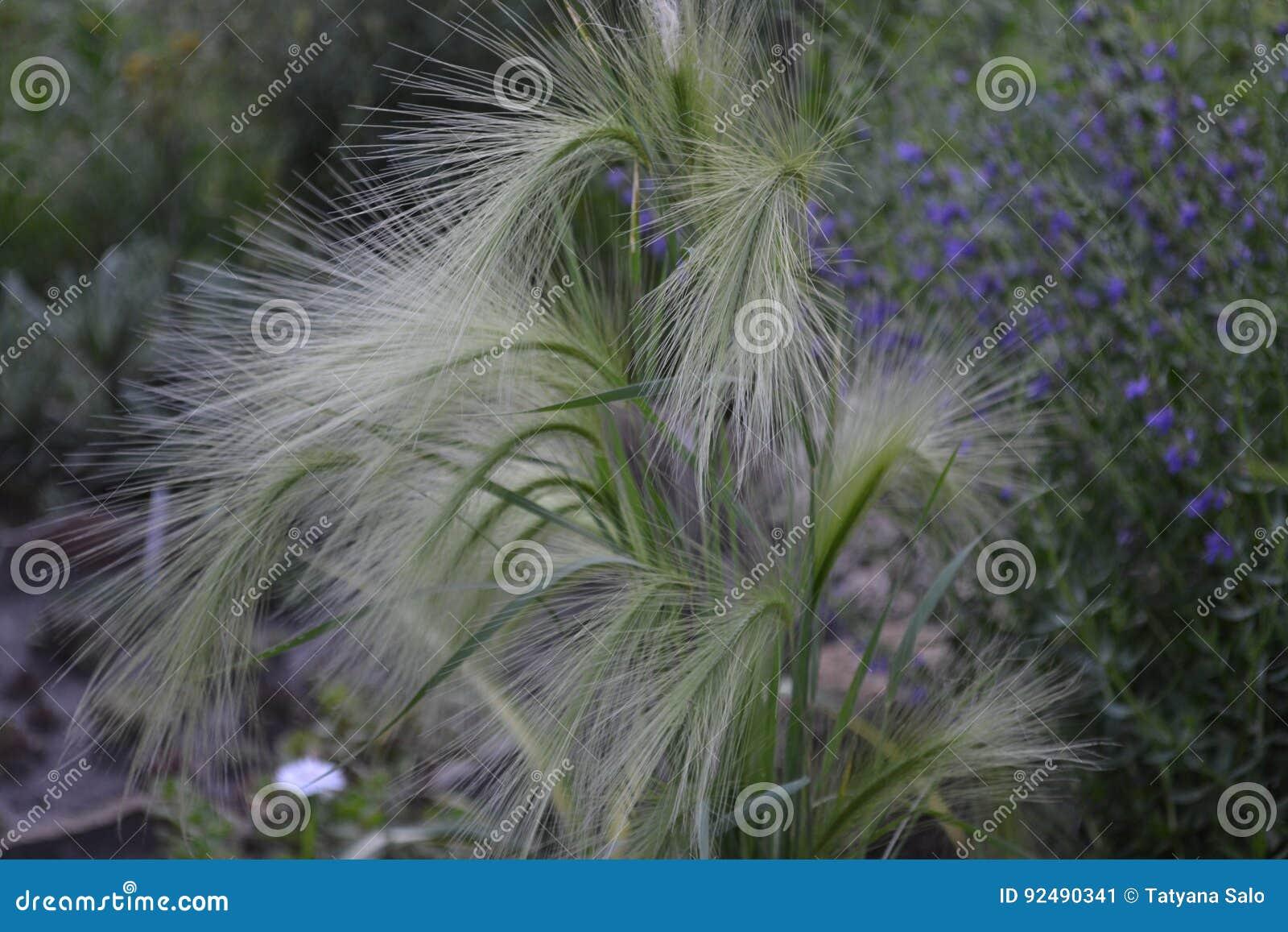 Lång-maned korn