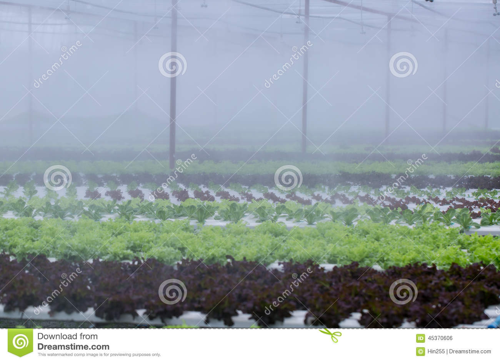 Légume de culture hydroponique