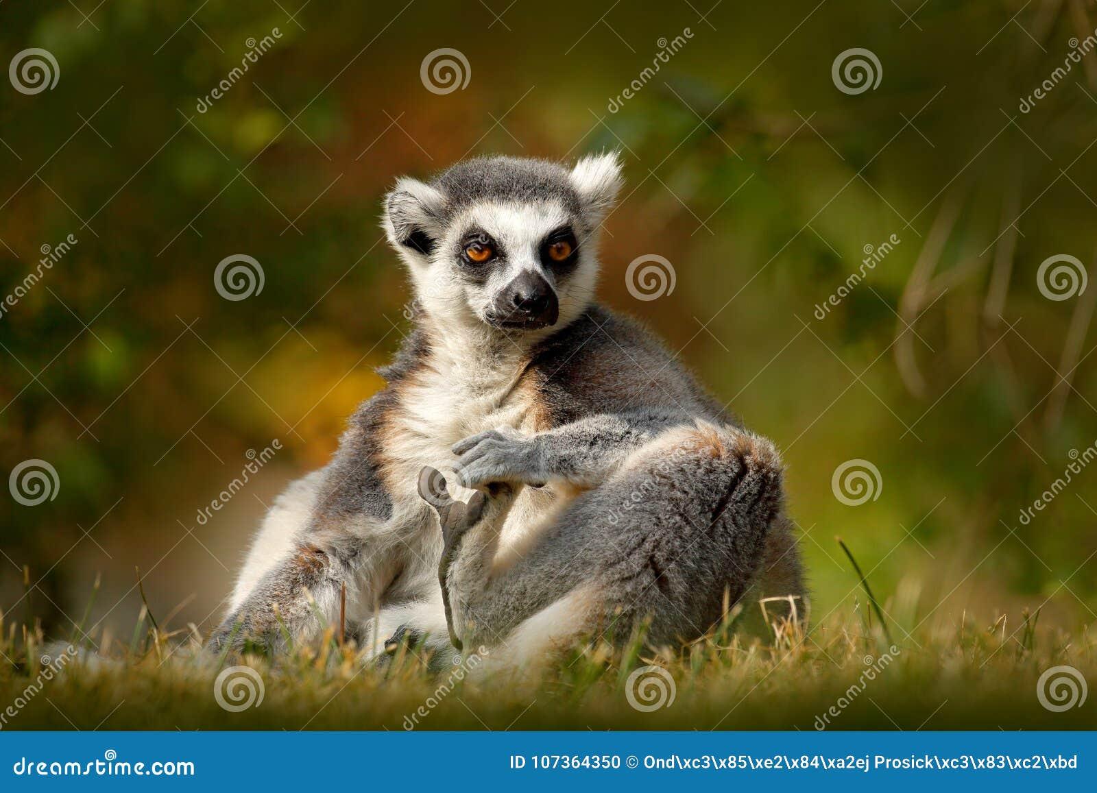 Lémur Anneau-coupé la queue, catta de lémur, avec le fond clair vert grand primat de strepsirrhine dans l habitat de nature Anima