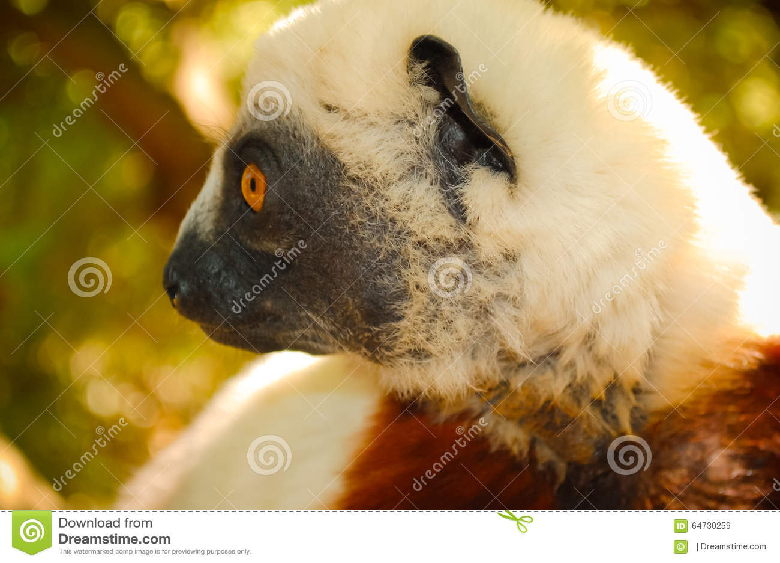 Lémur del primer madagascar