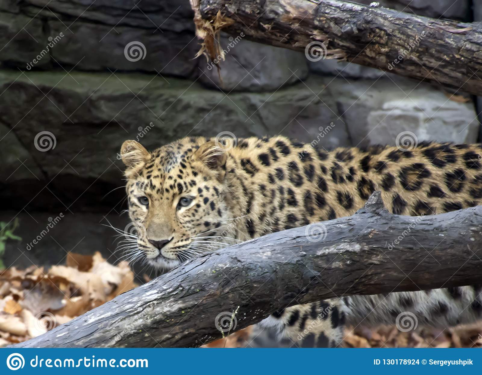 Léopard d Amur Animal sauvage
