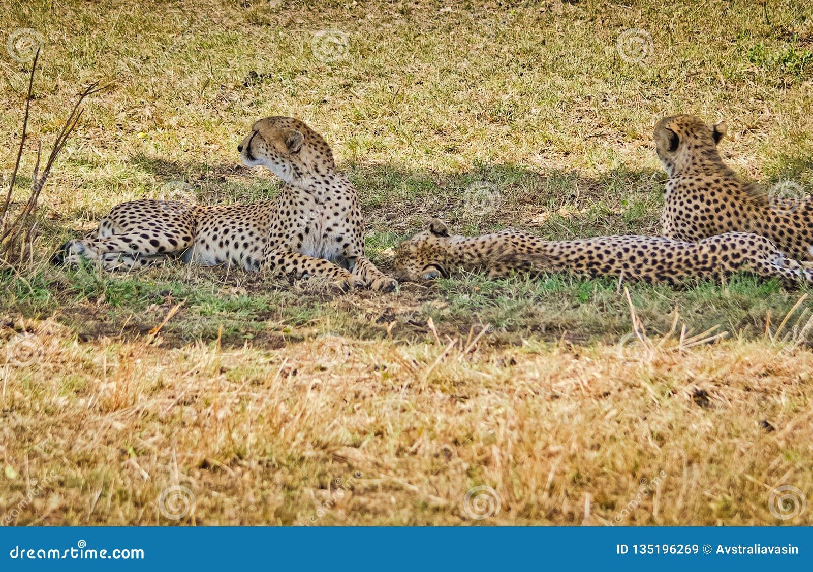 Léopard dans leur habitat naturel dans la savane africaine Les RP