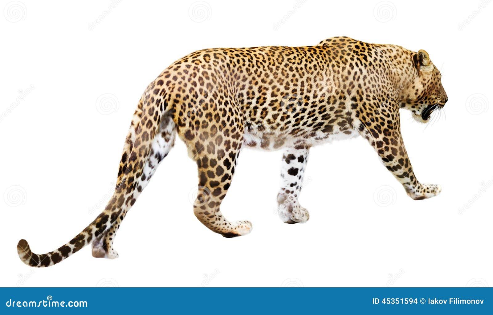 Léopard de marche au-dessus de blanc