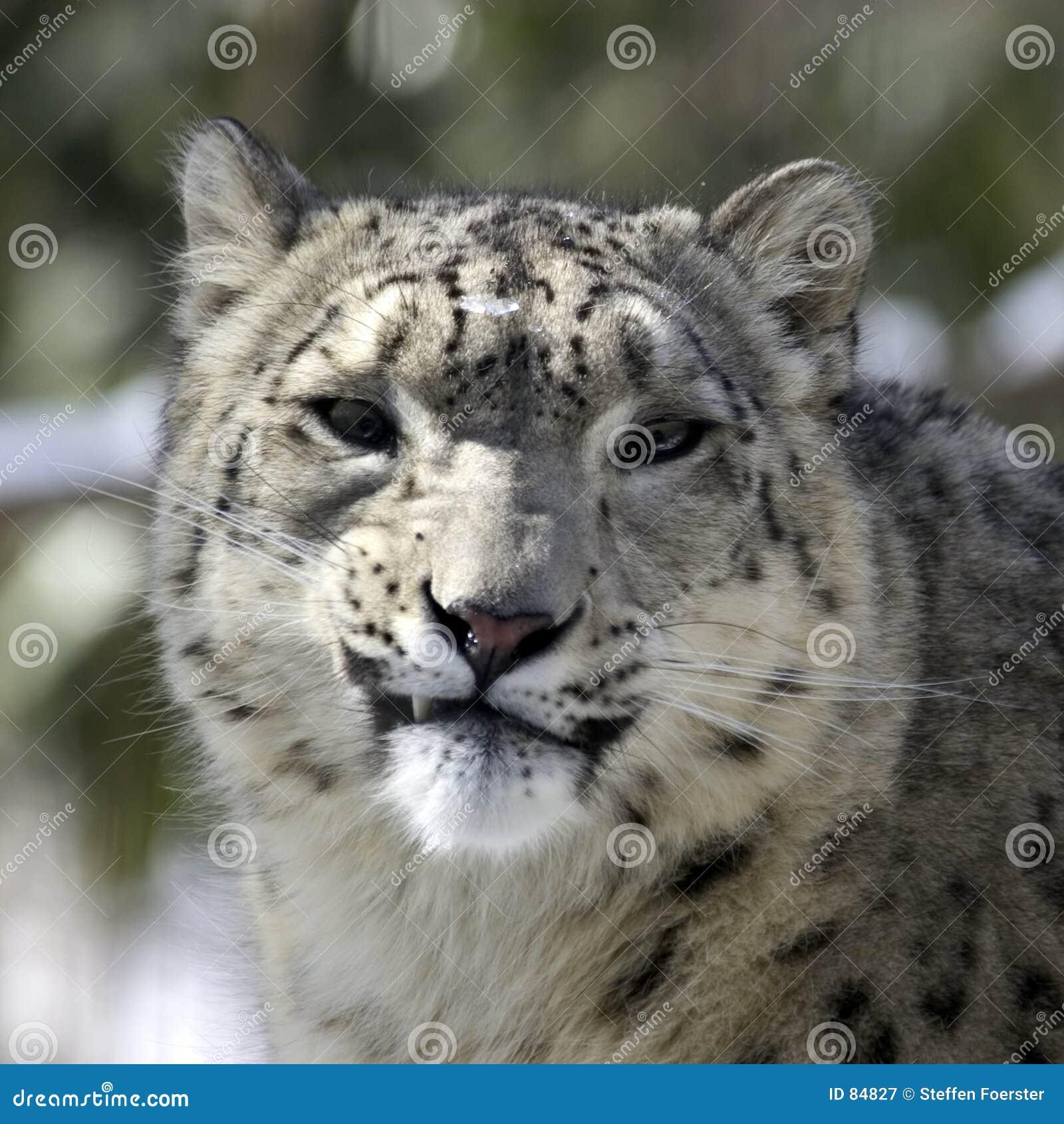 Léopard de neige