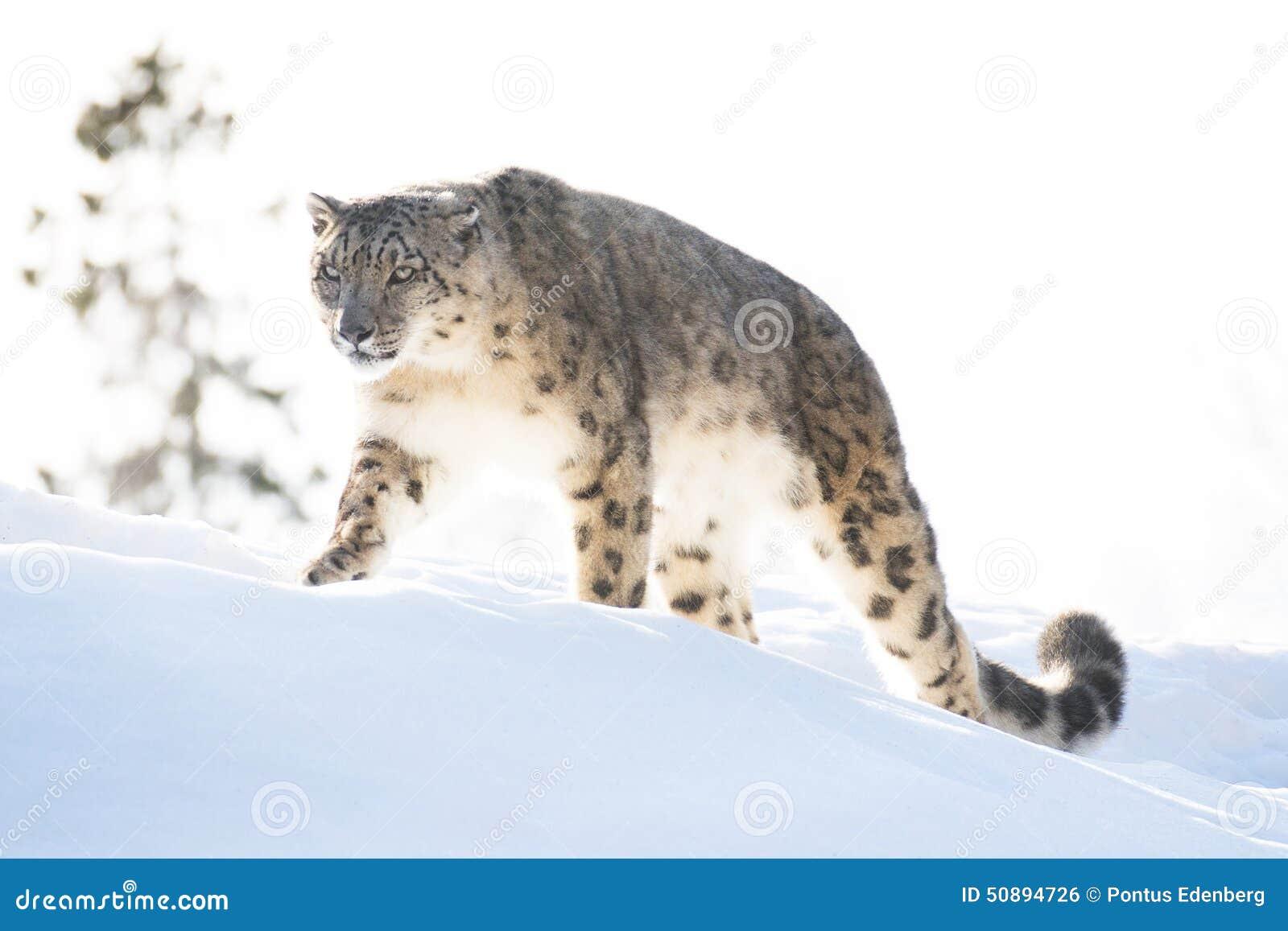Léopard de neige pendant l hiver