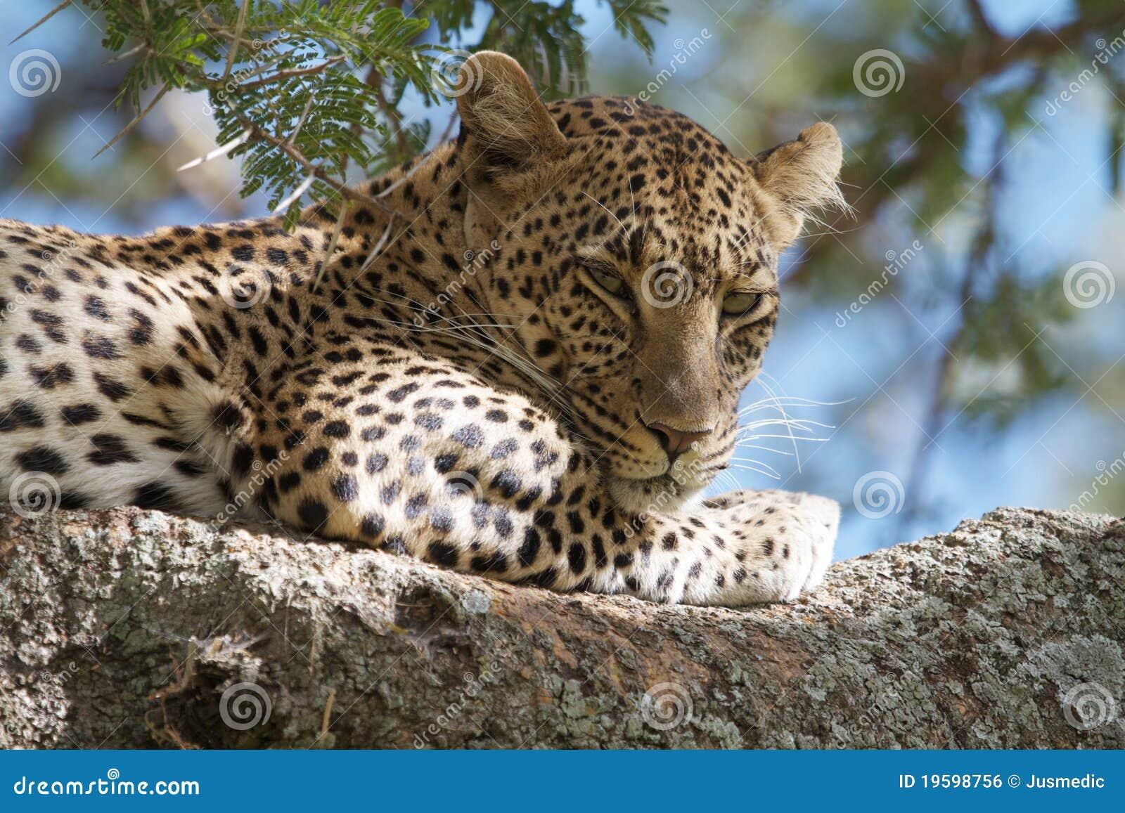 Léopard de sommeil