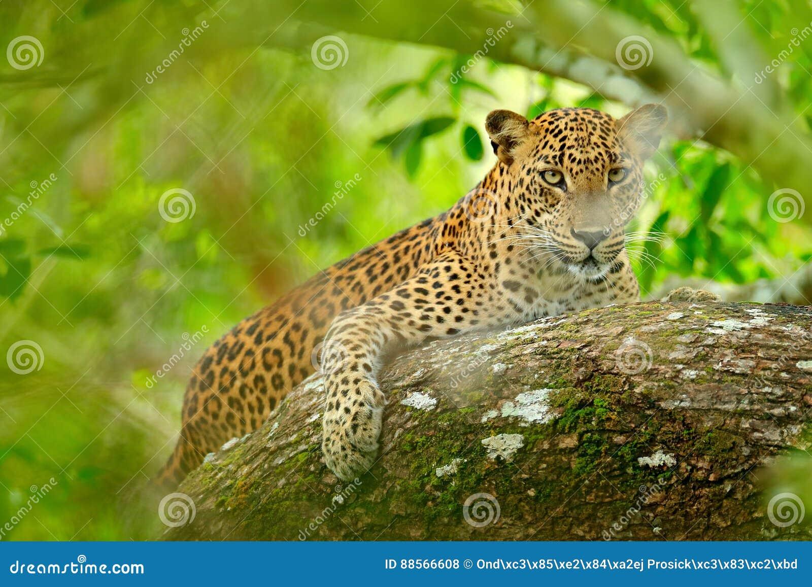 Léopard en végétation verte Léopard sri-lankais caché, kotiya de pardus de Panthera, grand chat sauvage repéré se trouvant sur l