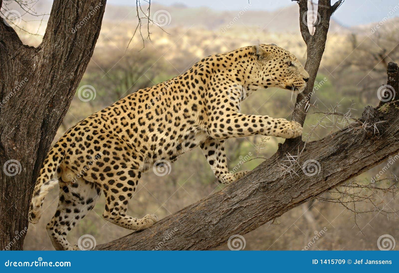 Léopard mâle Namibie