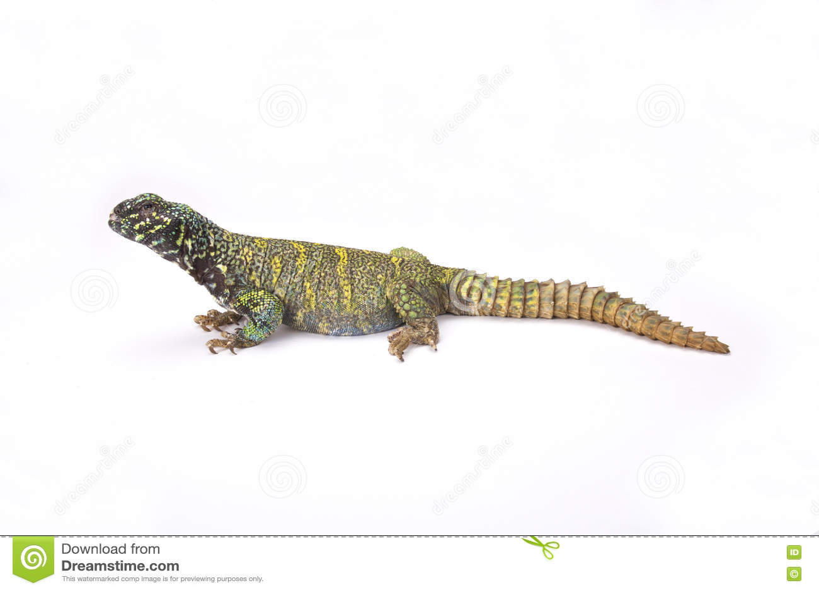 Lézard épineux-coupé la queue fleuri (ornata d ornata d Uromastyx)
