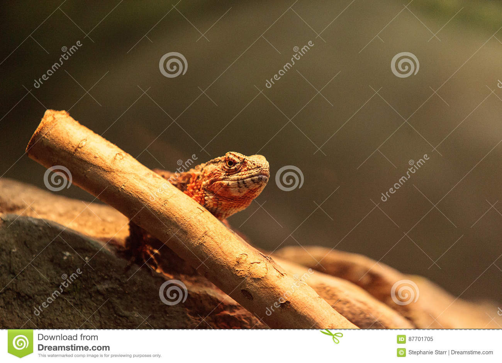 Lézard chinois de crocodile connu sous le nom de crocodilurus de Shinisaurus