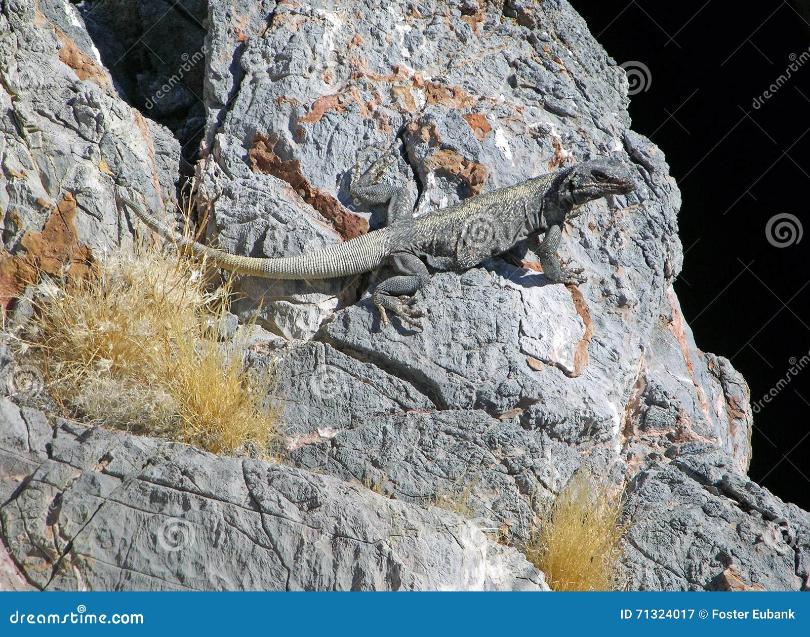Lézard de Chuckwalla au trou de diables dans Death Valley, Nevada