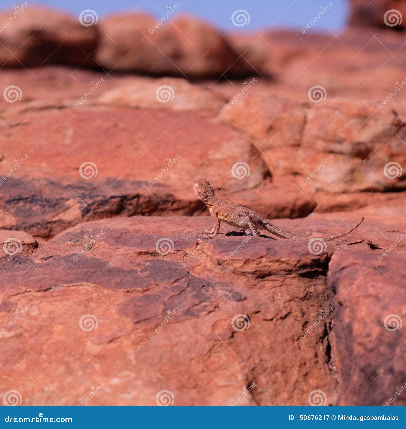 Lézard de dragon Anneau-coupé la queue sur la roche dans l Australie occidentale