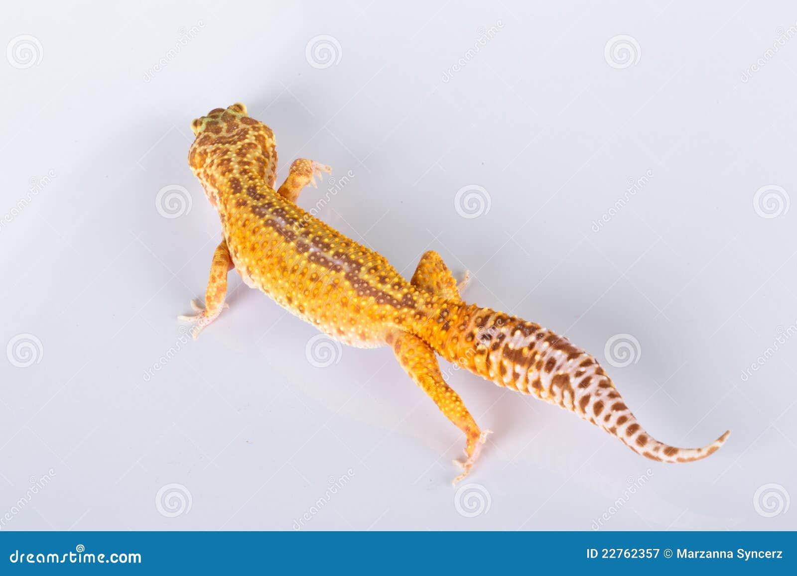 Lézard de Gecko