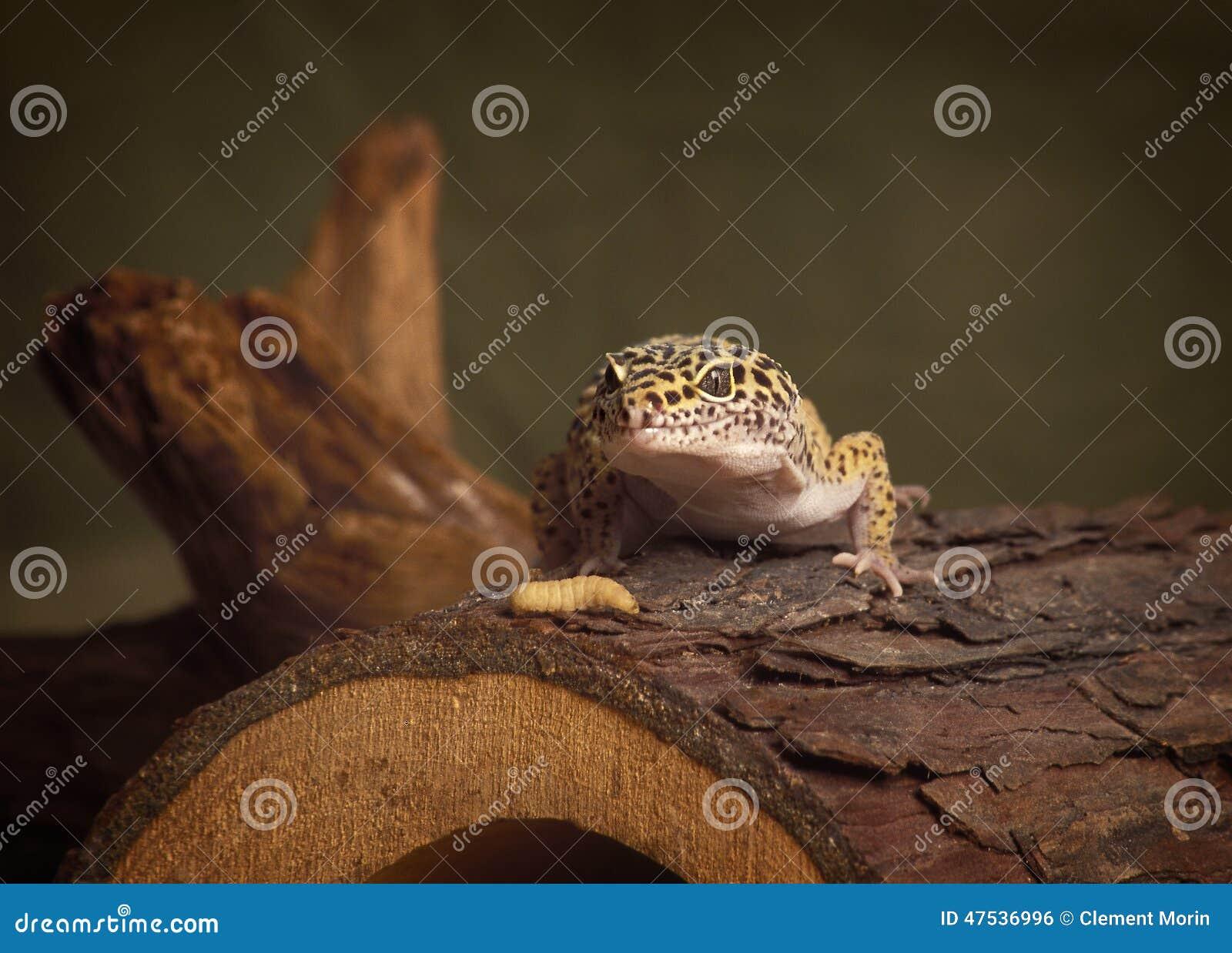 Lézard de léopard de gecko avec son dîner