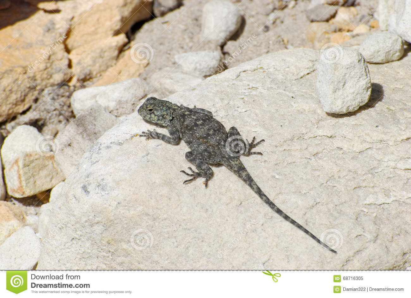 Lézard femelle d agame de roche (atra d agame)