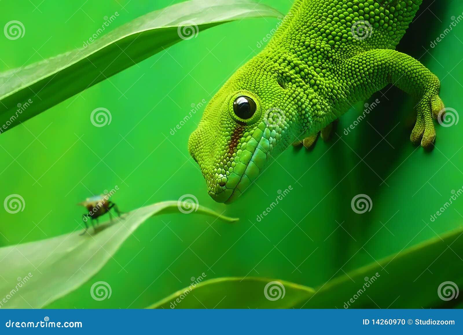 Lézard vert de gecko