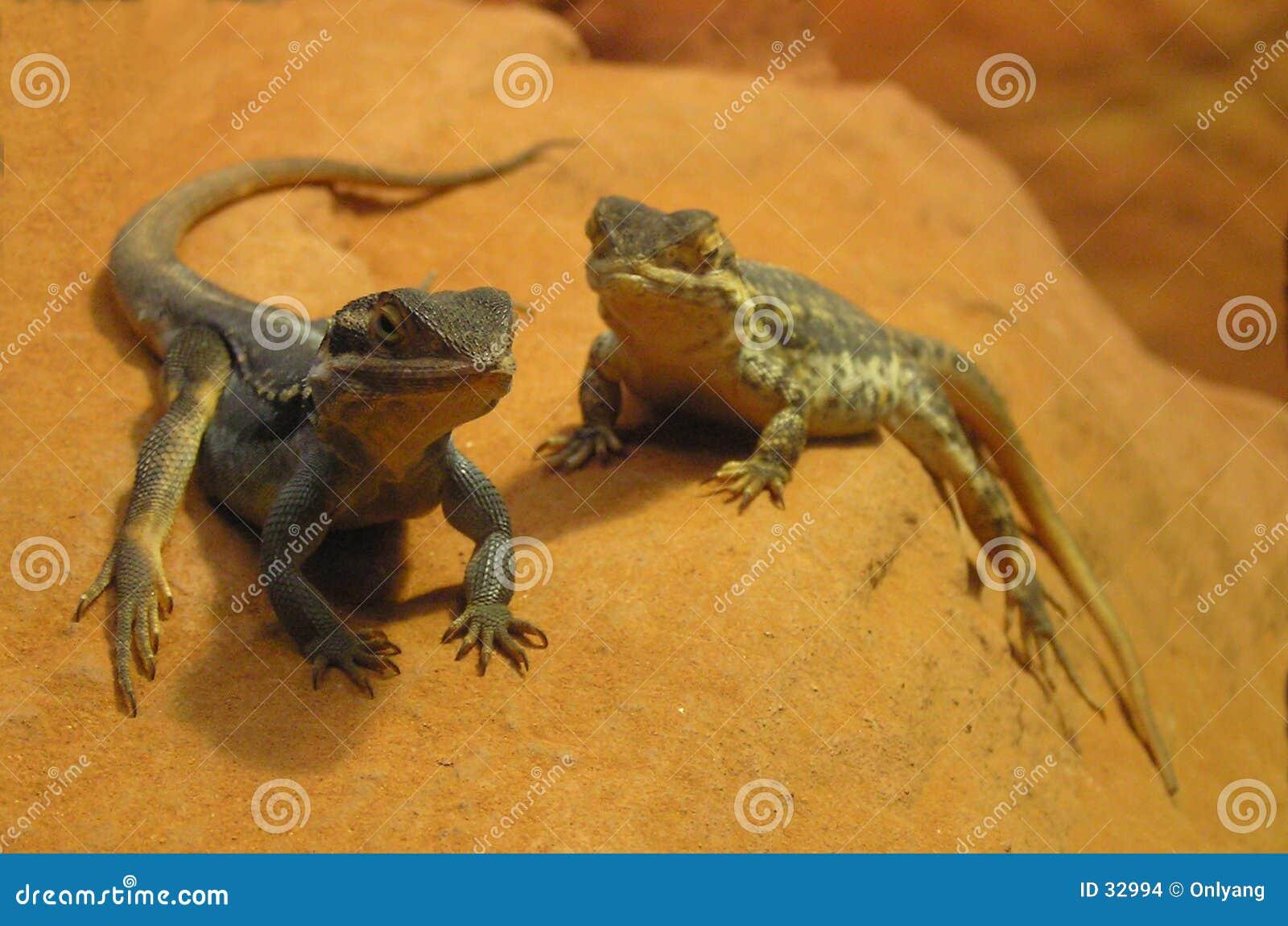 Lézards sur une roche