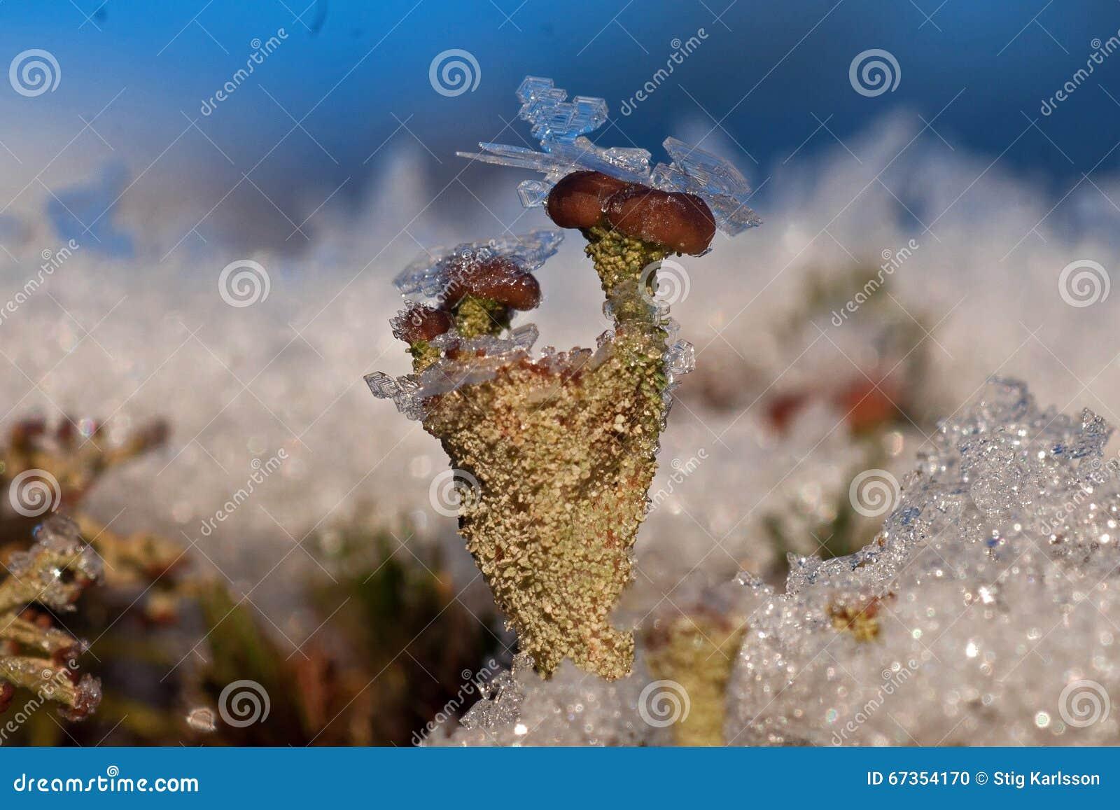 Líquene de rena coberto com os cristais de gelo durante o inverno