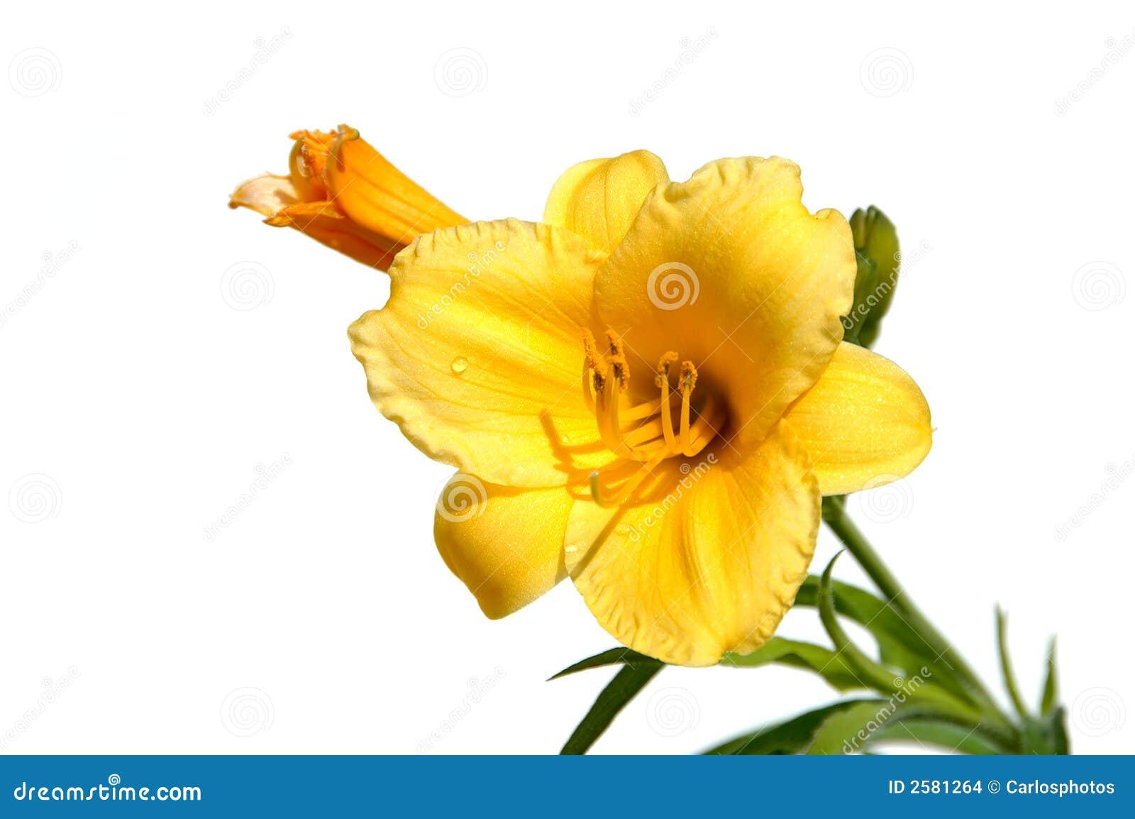 Lírio amarelo