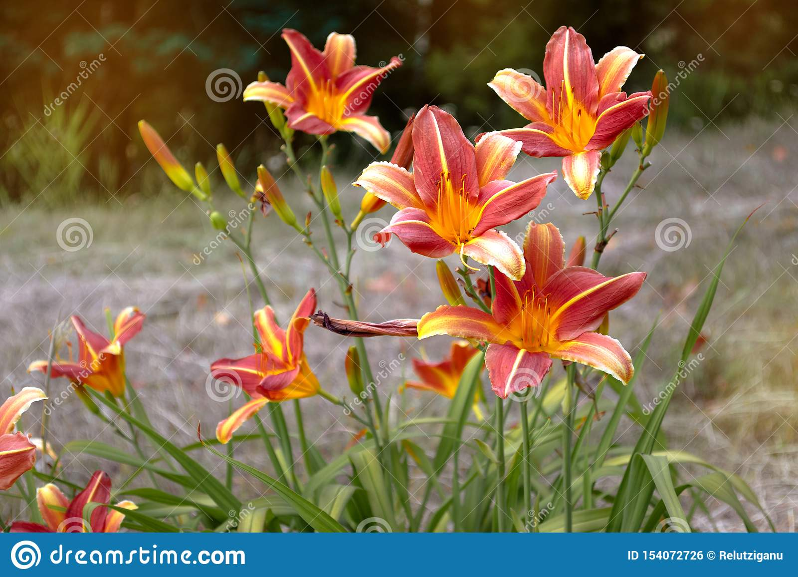 Lírio amarelo da flor em um fundo do parque verde Fim amarelo do lírio acima em um fundo borrado das folhas verdes em um dia enso