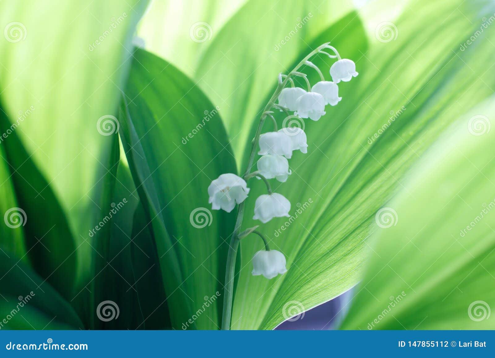 Lírio bonito delicado das flores da flor do vale contra um fundo das folhas verdes em um dia de mola ensolarado Sombras no verde