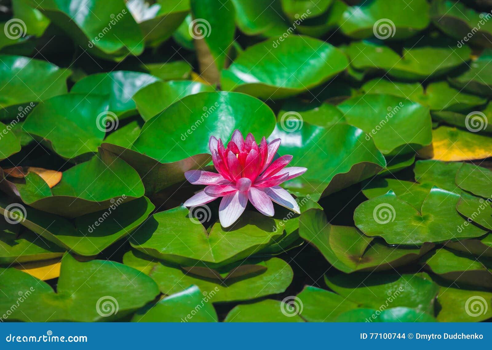 Lírio de água cor-de-rosa em uma lagoa quieta
