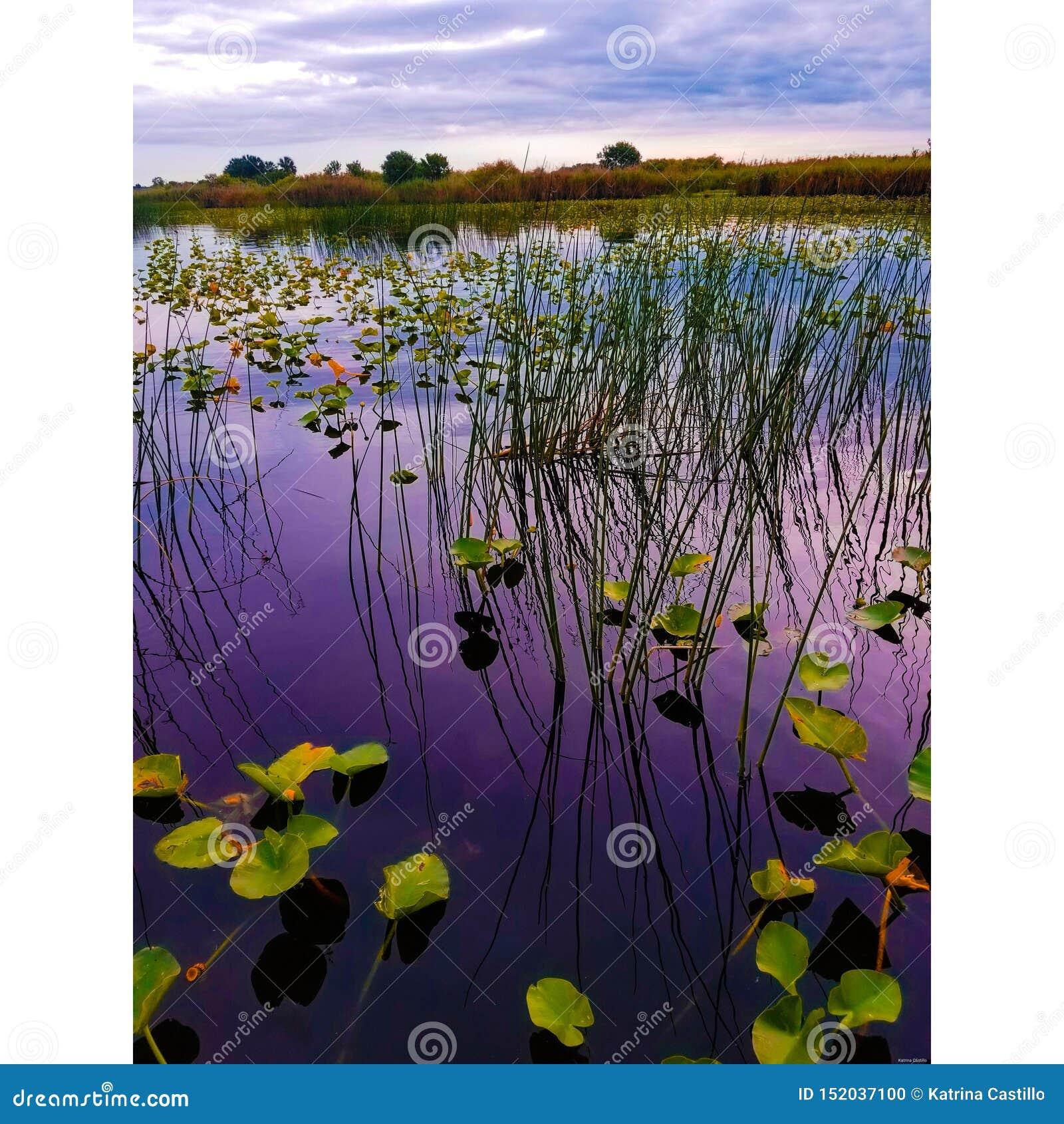 Lírio de água e grama alta no St Johns River