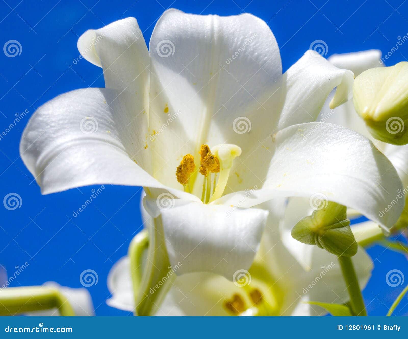 Lírio de Easter branco e céu azul
