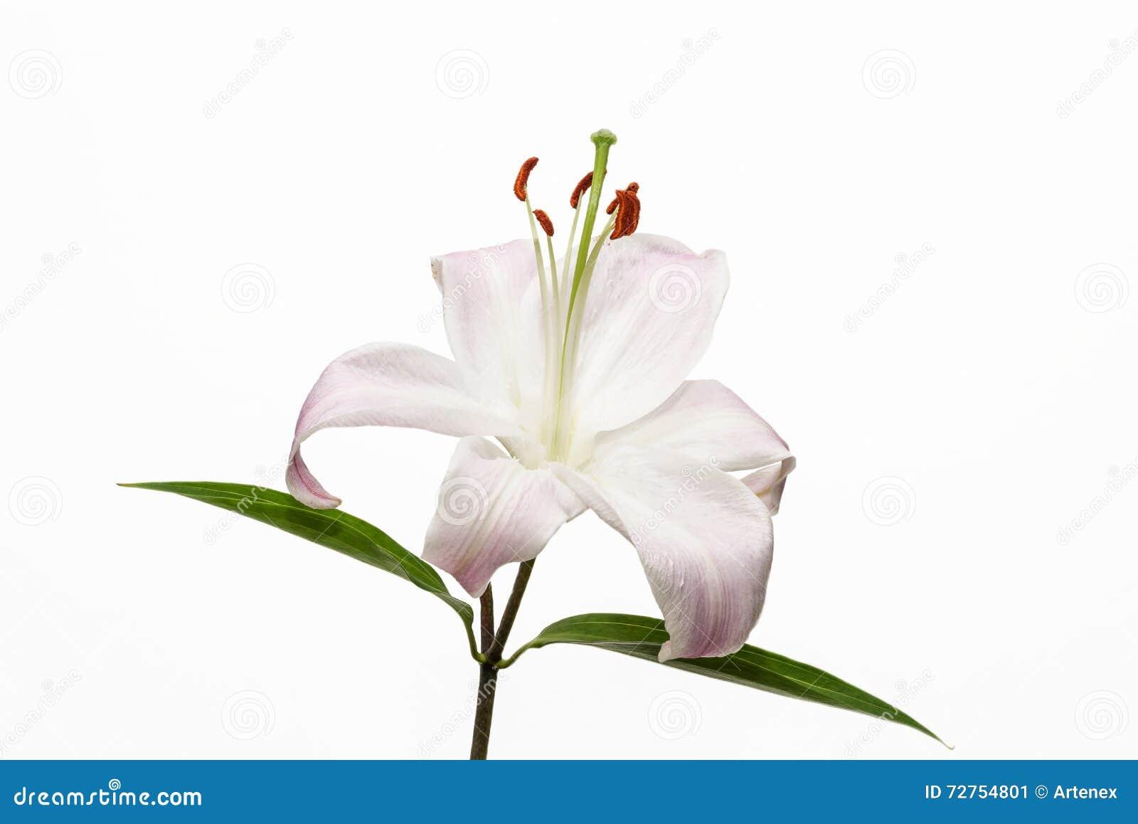 Lírio Pétala aberta da flor bonita Flor branca brilhante da flor Flor de florescência no fundo branco isolado