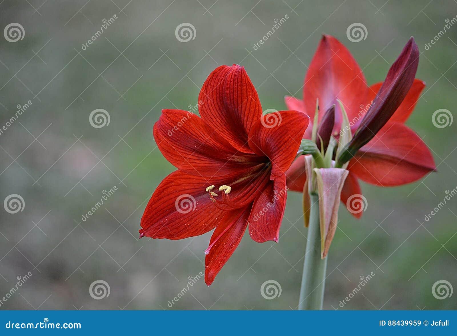 Lírio vermelho