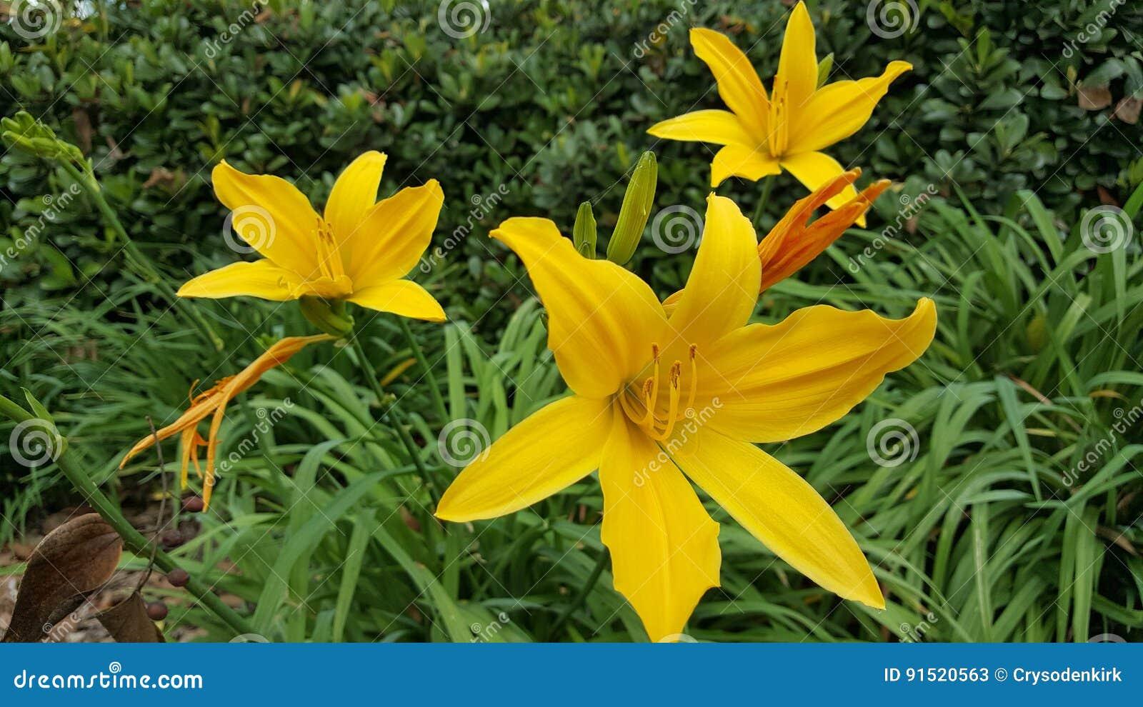 Lírios amarelos