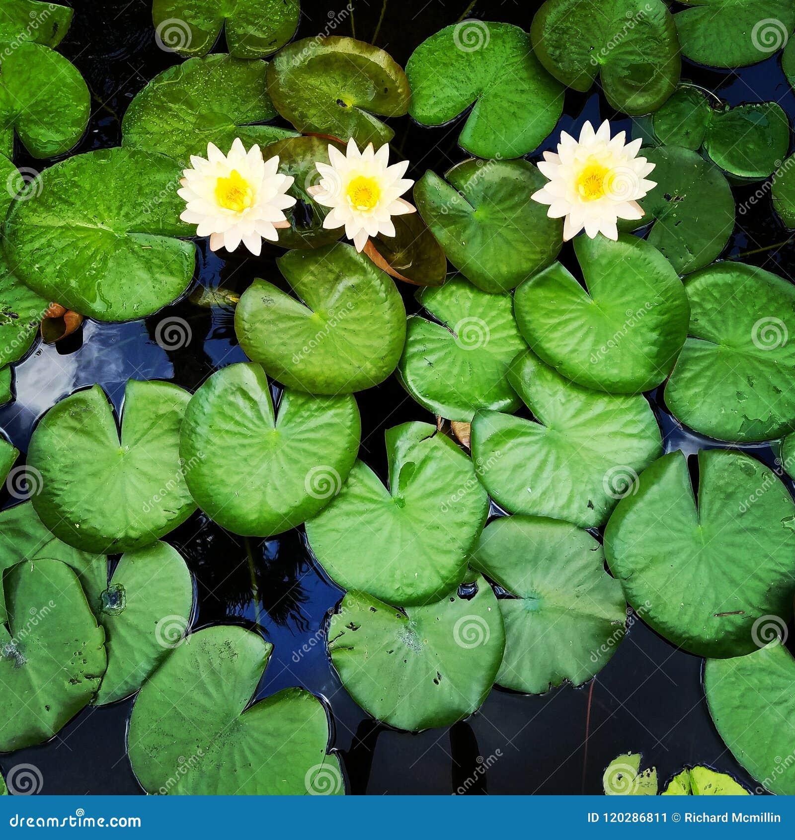 Lírios de água com flores amarelas