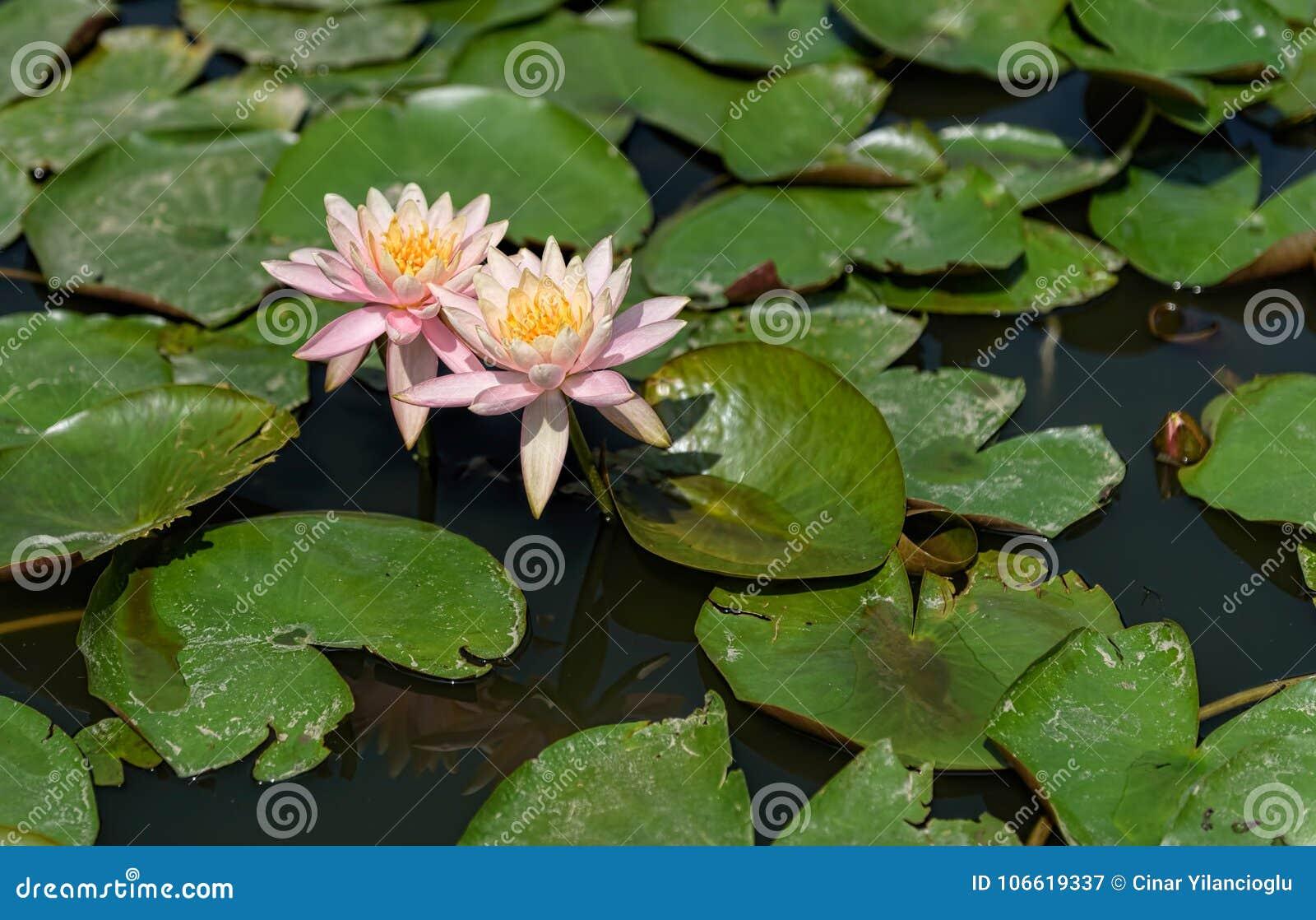 Lírios de água em uma lagoa com licença escura da água e largamente horizontalmente do verde