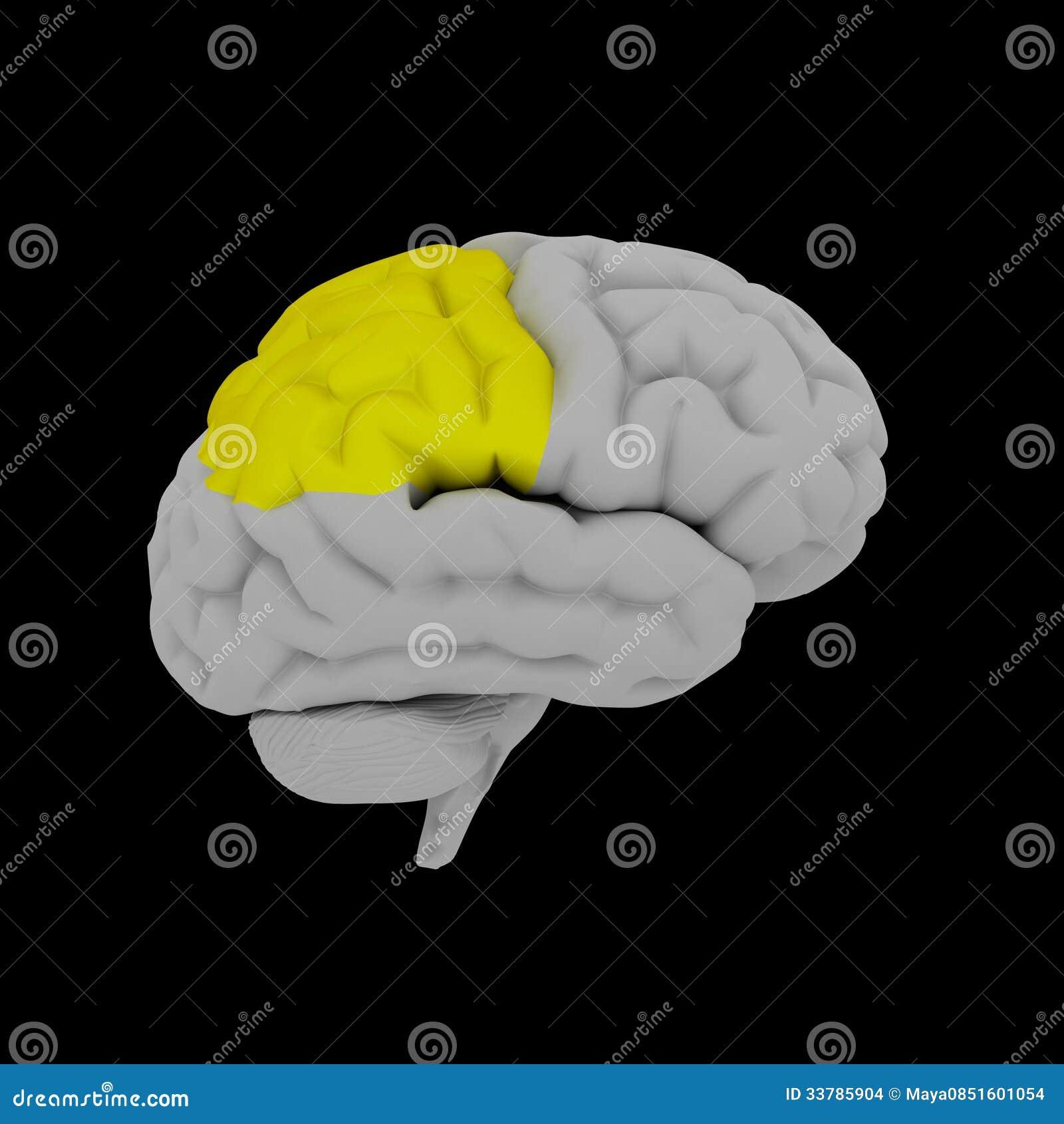 Lóbulo parietal stock de ilustración. Ilustración de hembra - 33785904
