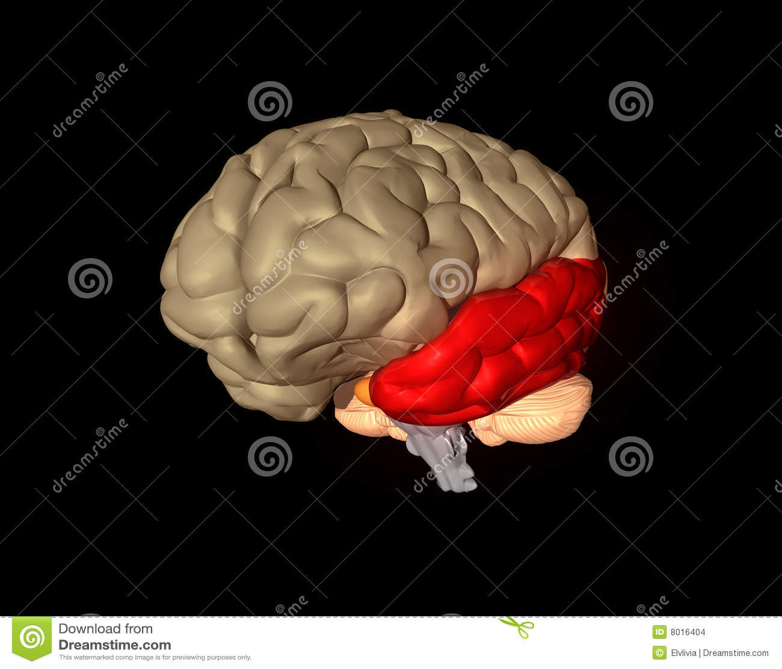 Lóbulo parietal stock de ilustración. Ilustración de cerebros - 8016302