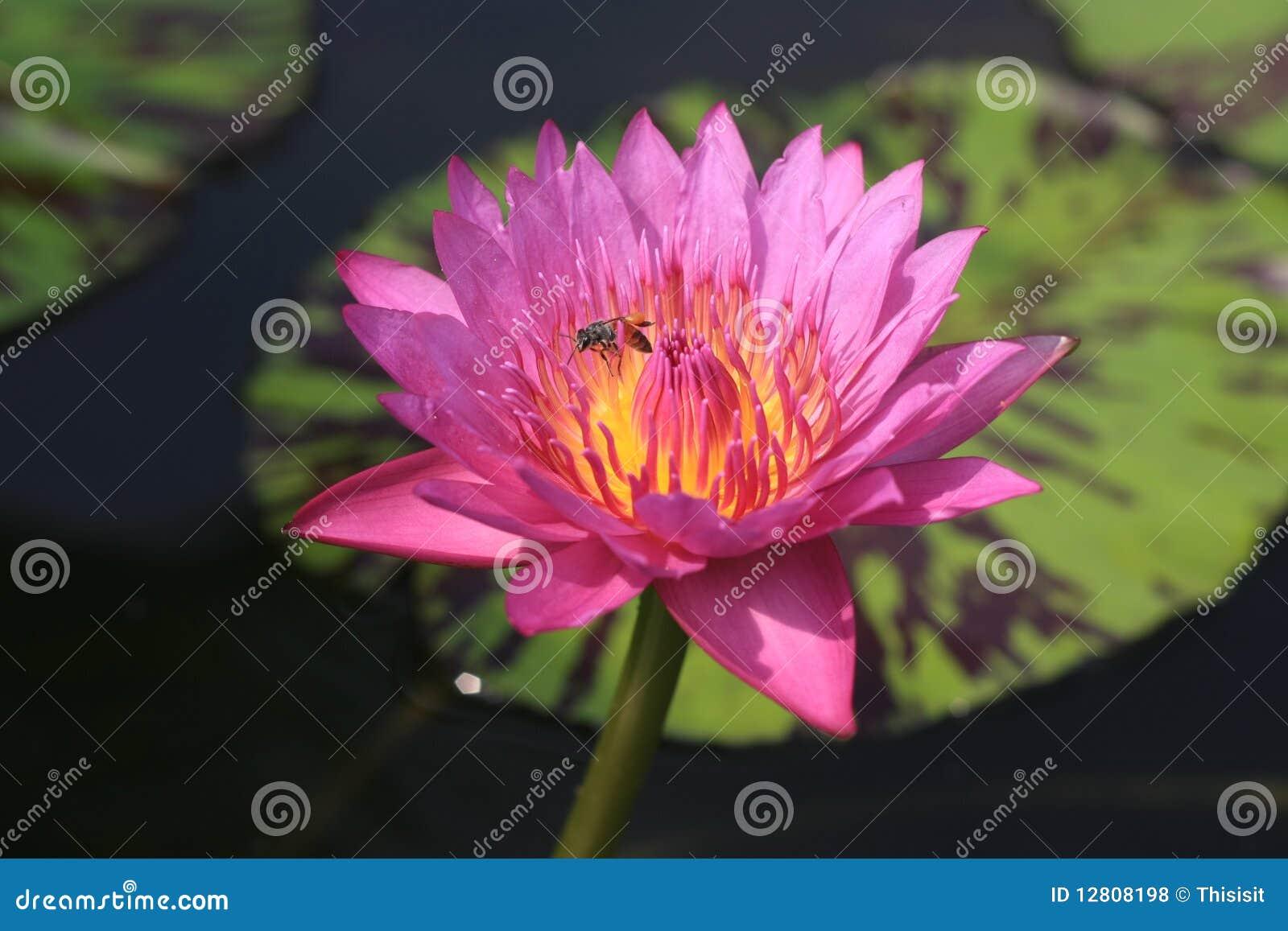 Lótus cor-de-rosa