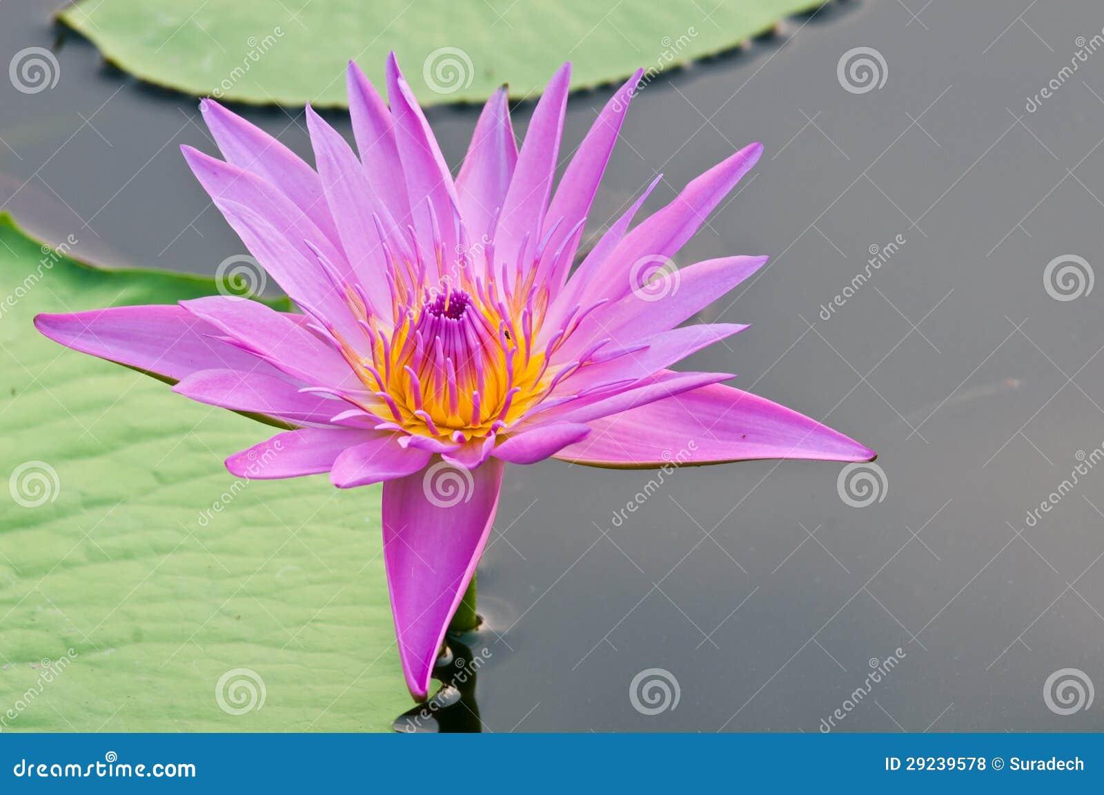 Download Lótus cor-de-rosa foto de stock. Imagem de rosa, jardim - 29239578