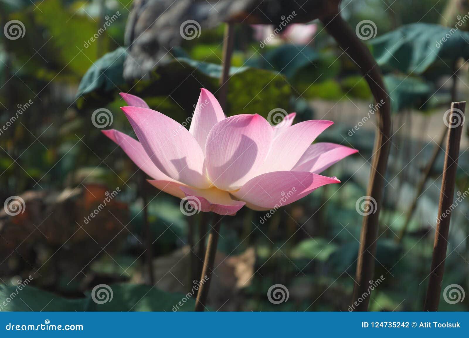 Lótus cor-de-rosa com a luz do sol forte NENHUMA 2