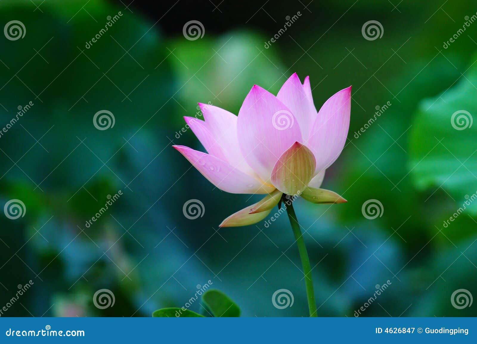 Lótus de florescência
