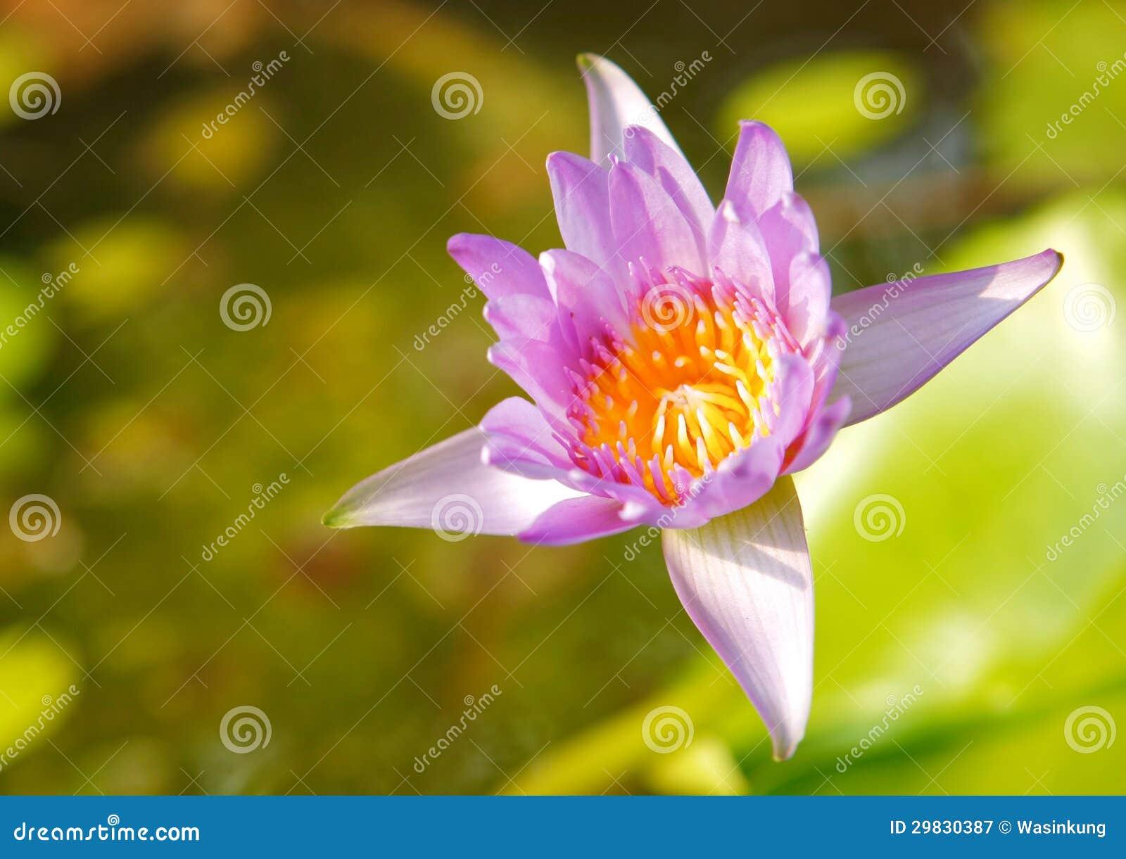 Lótus violetas na luz solar