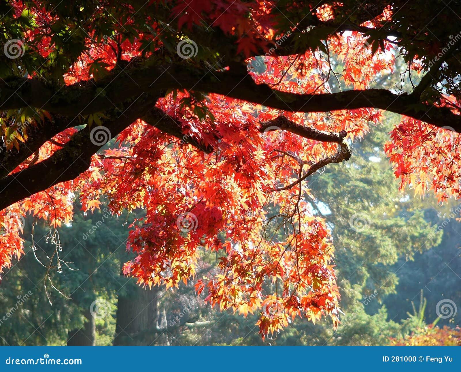 Lönnredtree