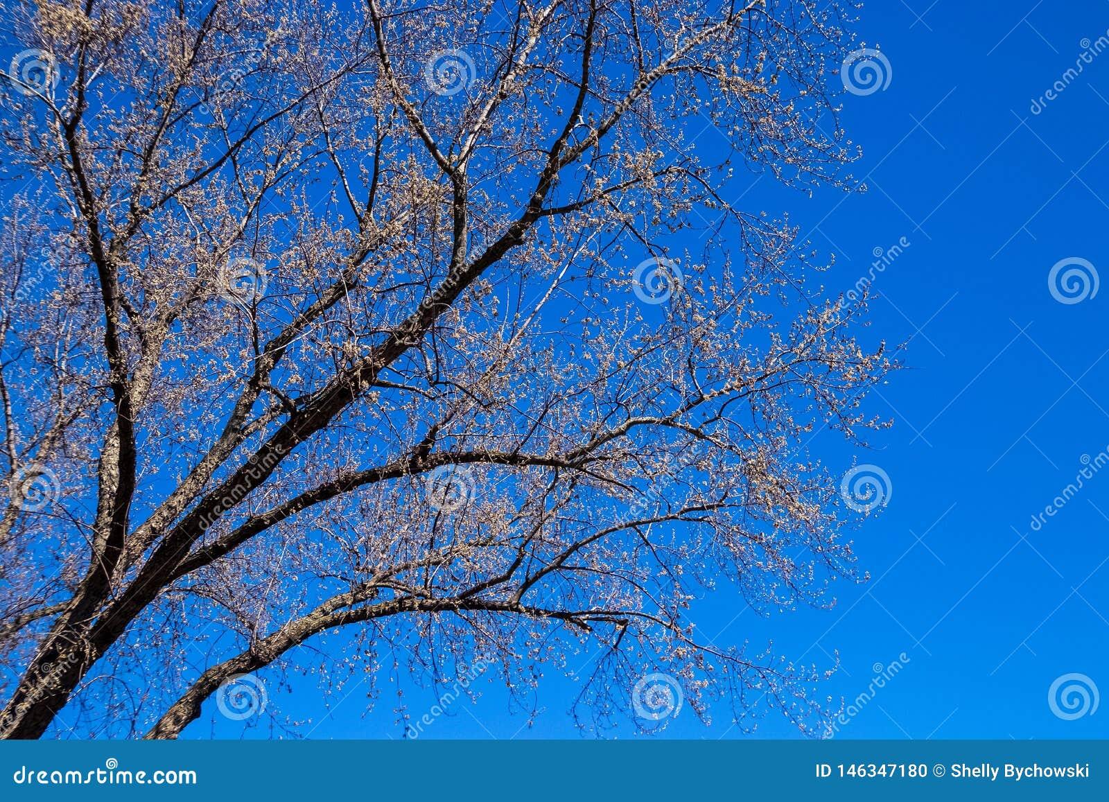 Lönnträd som börjar att slå ut under våren