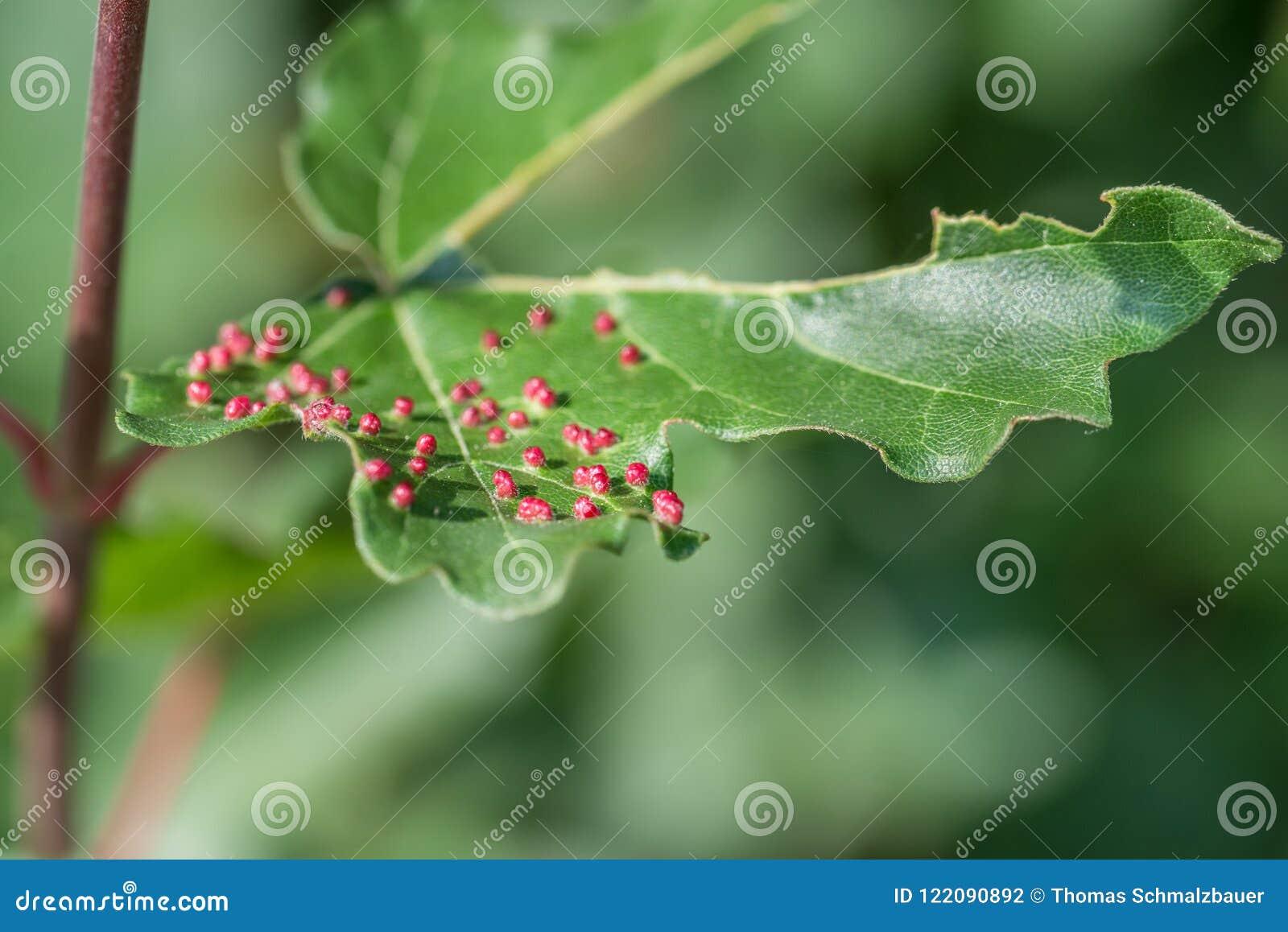 Lönnträd som hemsökas med fräckhetkvalsterar