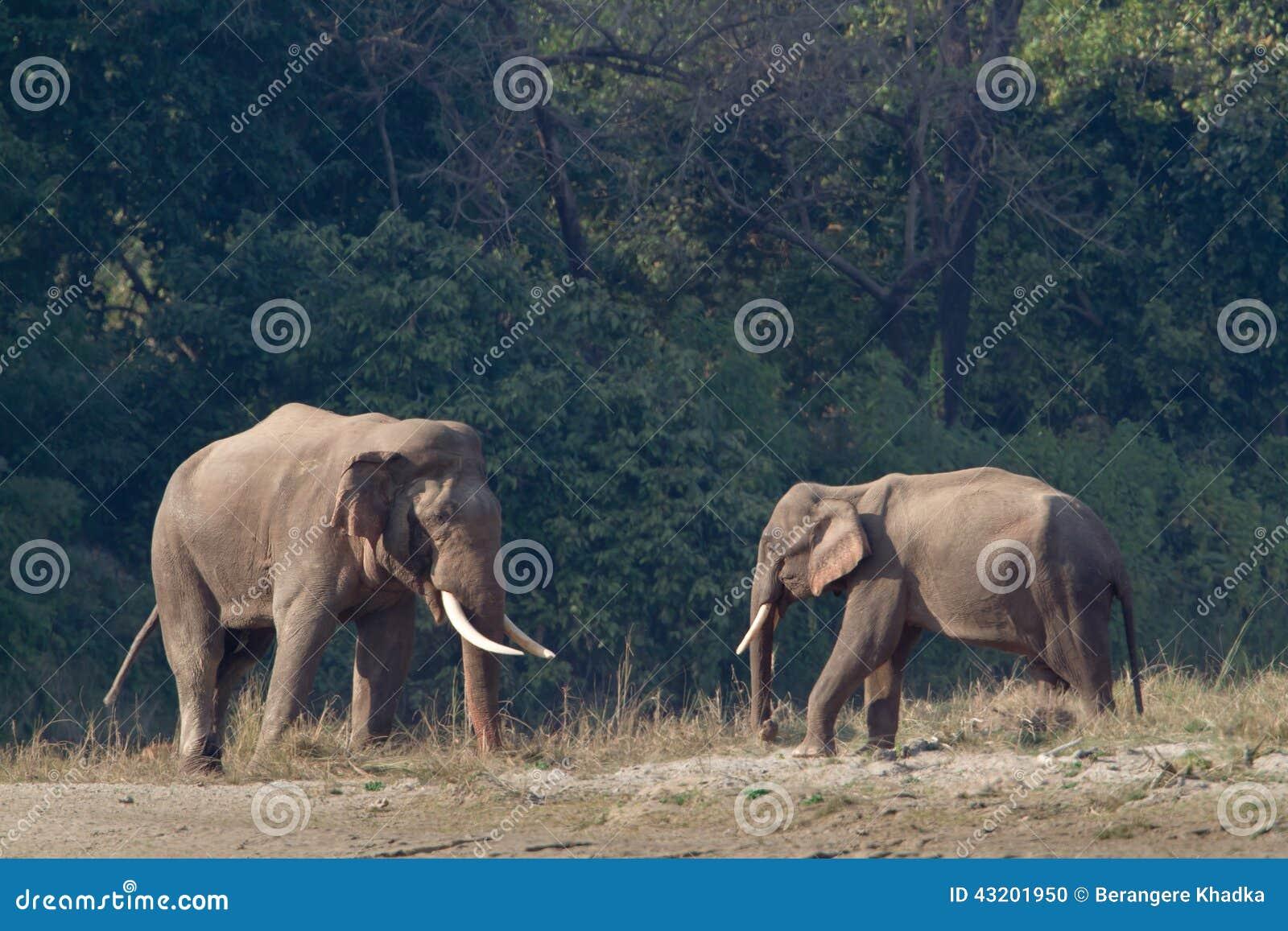 Download Lös Asiatisk Elefant I Bardia, Nepal Arkivfoto - Bild av nationellt, däggdjur: 43201950