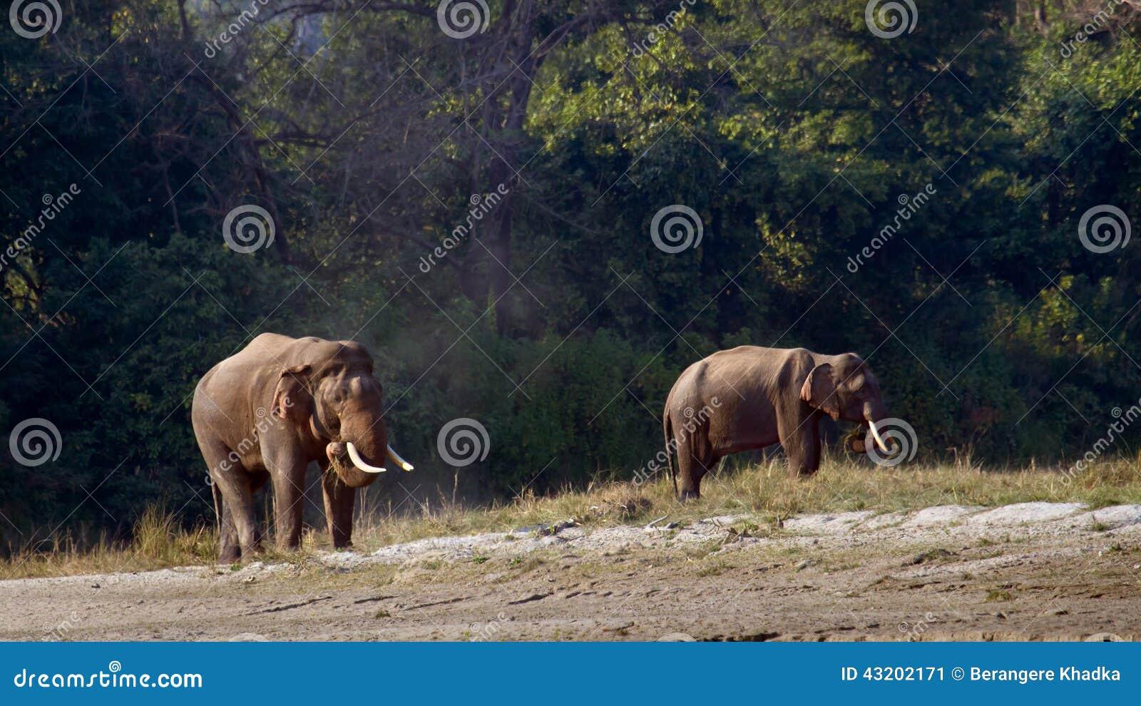Download Lös Asiatisk Elefant I Bardia, Nepal Fotografering för Bildbyråer - Bild av utomhus, nepal: 43202171