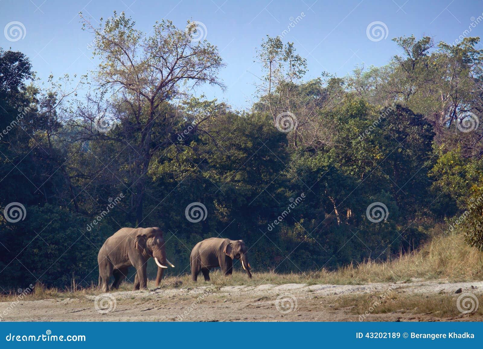 Download Lös Asiatisk Elefant I Bardia, Nepal Fotografering för Bildbyråer - Bild av manlig, natur: 43202189